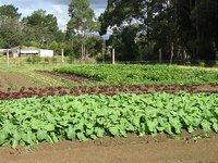 Celery, Lettuce and Swedes growing at Zion Gardens